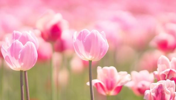 インテリアを考える日 4月10日 NIF インテリアファブリックス協会 ピンクのチューリップ